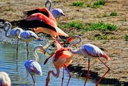 Flamants roses, Parc ornithologique (13)